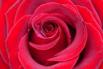Eine Rose Zum Valentinstag Als Zeichen Der Liebe.