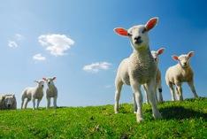 Schafskälte 2021