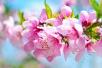 Pfirsichblüten-Tag 2020