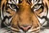 Internationaler Tag des Tigers 2021