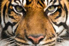 Internationaler Tag des Tigers 2016